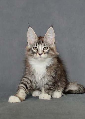 Kocúr plemena Maine Coon - www.maine-coons.sk